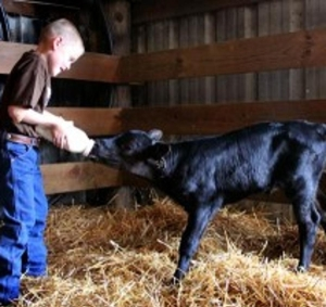 boy feeding calf